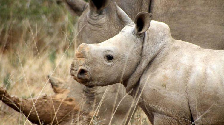 rhino conservation safari at Kwandwe, South Africa, Black Rhino and calf