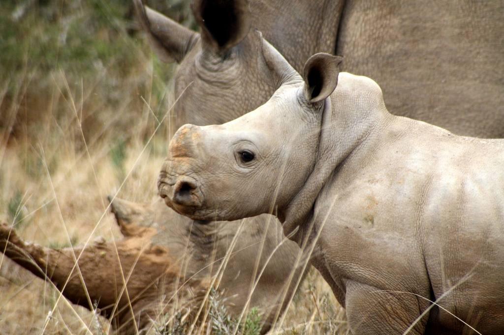 White Rhino calf and mother rhino, Kwandwe South Africa rhino conservation safari