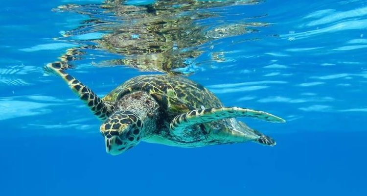 Underwater turtle swimming in the North Island Seychelles - turtle migration - turtle conservation holiday
