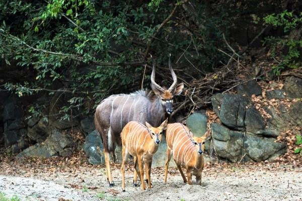 sitatunga-antelope-robin-pope-safaris-zambia-600-400