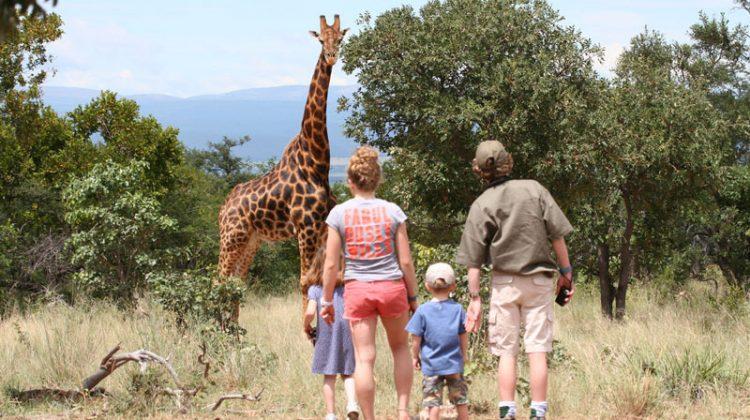 Giraffe on a family walking safari Ants Nest, South Africa