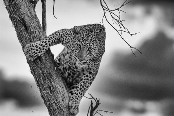 dyball-bw-leopard