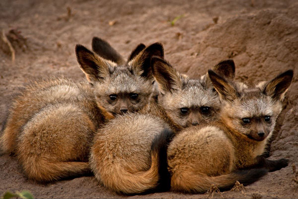 Dyball-bat-eared-foxes