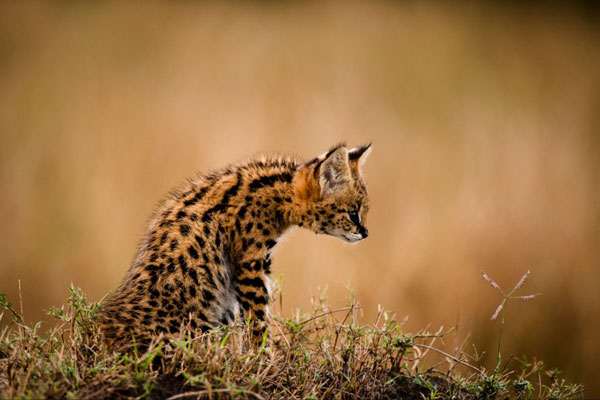 dyball-serval-kitten