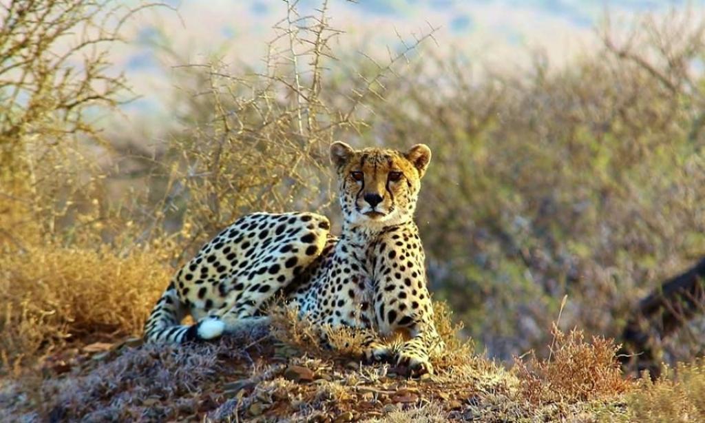 morne-cheetah.jpg.1024x0-kwandwe-sa