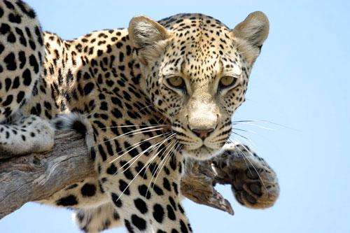 shakira-leopard-adopt-a-leopard-africatfoundation-okonjima-namibia