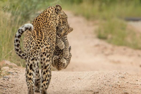 @_Singita-Ebony-Lodge-Wildlife leopard mum carrying cub