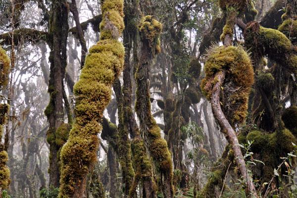 A-lush-tree-lichen-moss-forest-tanzania