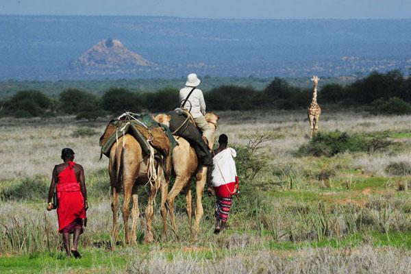 Camels-with-giraffes-behind-Karisia-Laikipia-Kenya