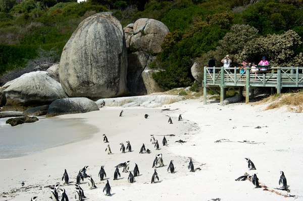 cape-town-bounders-bay-penguins-wearewilderness-600-400