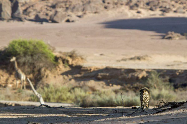 Cheetah-and-giraffe-Clement-Lawrence-Namibia desert wildlife