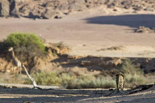 Cheetah-and-giraffe-Clement-Lawrence-Namibia desert wildlife