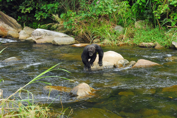 Chimp-crossing-river-GreyStoke-Mahale