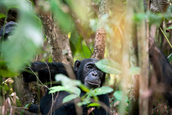 Chimp-forest-greystoke-mahale