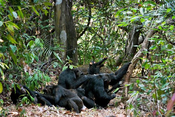 Chimps-forest-floor-greystoke-mahale-tanzania