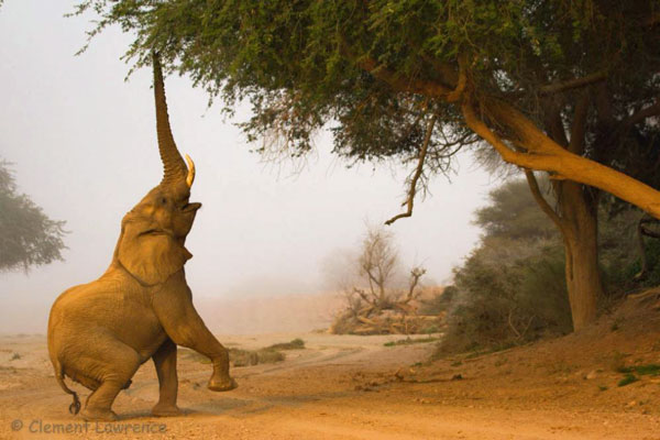 Elephant-Tree-Clement-Lawrence Namibia desert wildlife
