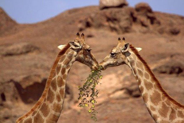 Giraffe-2-Namibia-Clement-Lawrence