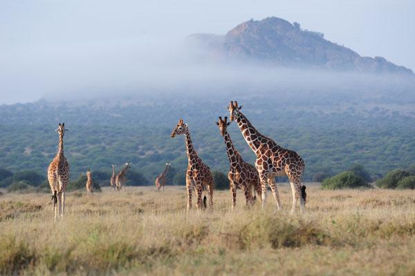 Giraffes-and-scenery-Karisia-Laikipia-Kenya