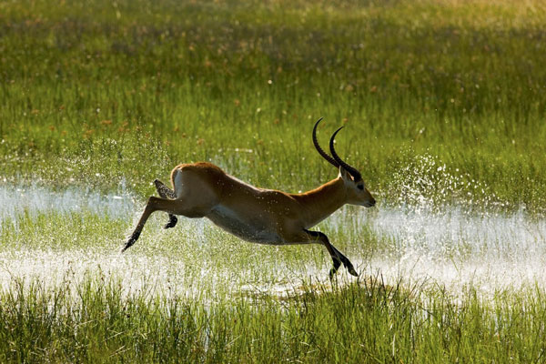 Lechwe-leaping-Beverly-Joubert