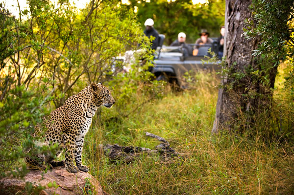 Leopard-with-vehicle-1-RiverLodge-LionSands-SouthAfrica