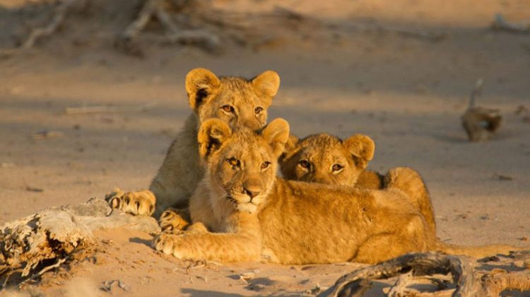 Three desert lion cubs basking in the sun on the sand in Hoanib, Namibia