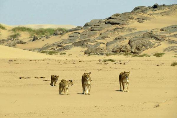 Lions-desert-Namibia