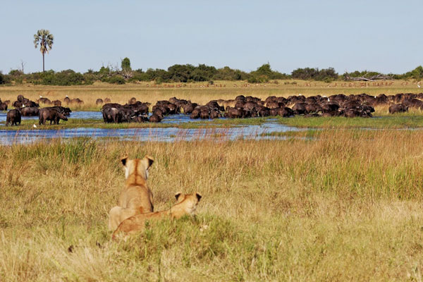 Lions-look-at-buffalo-herd-in-water