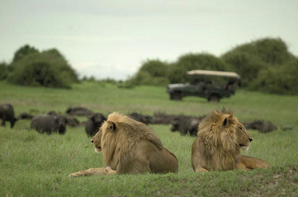 Male-lions-with-buffalo-and-game-drive-vehicle-in-background
