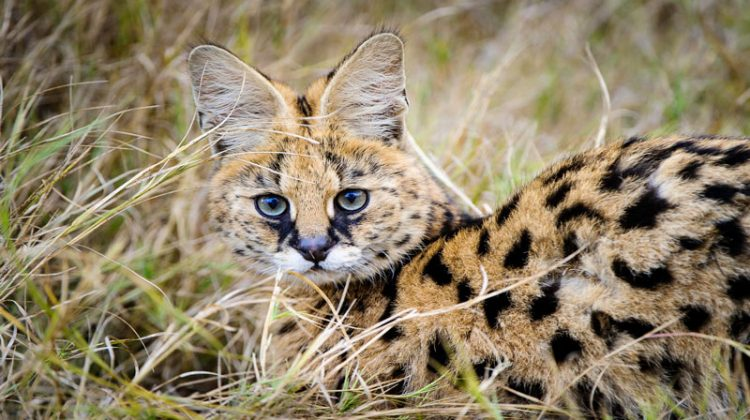 Serval cat, Mombo camp, Moremi Reserve Okavango Delta Botswana Dana Allen