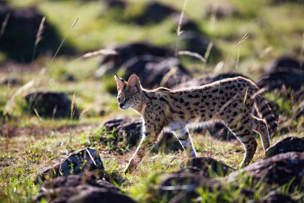 serval-cat-kenya-masai-mara-rekero-camp-lr-600-400
