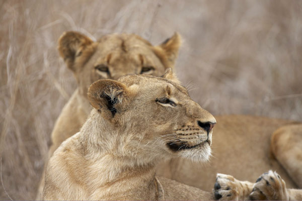 Singita_Sabi_Sands_lion-600-400