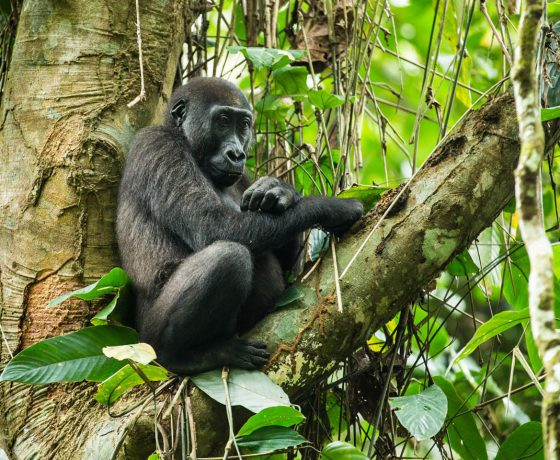 Western lowland gorilla in a tree, gorilla trekking in the Congo, Odzala Discovery Camps