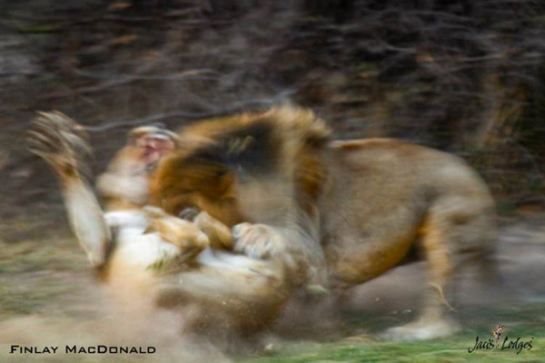 finlay-macdonald-jacis-camp-madikwe-southafrica-lions-fighting