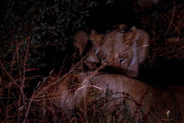 finlay-macdonald-jacis-camp-madikwe-southafrica-lions-nigh