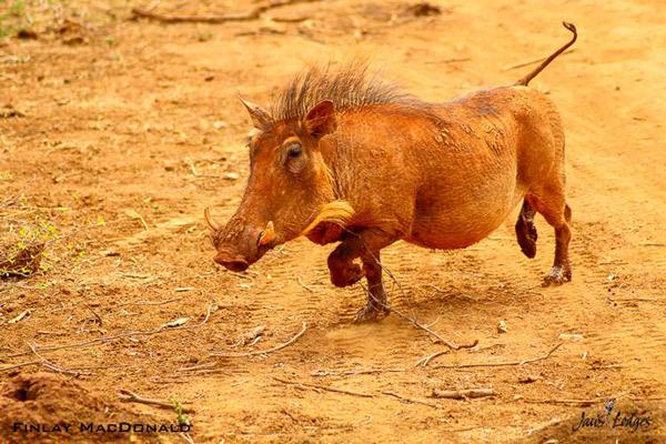 finlay-macdonald-jacis-camp-madikwe-southafrica-warthog