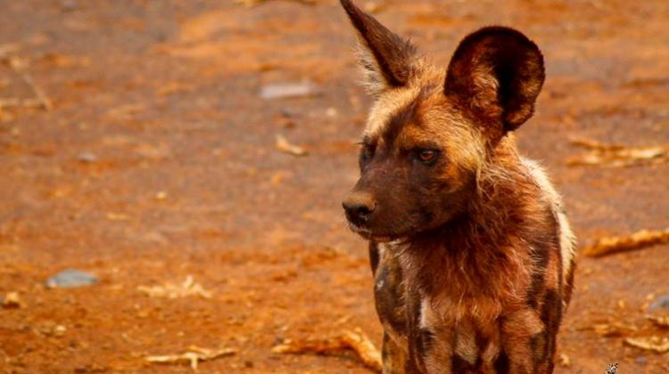 Wild dog at Jaci's Safari Camp, Madikwe South Africa childrens photography safari
