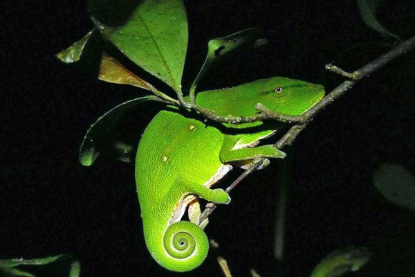 green-chameleon-night-twig-madagascar