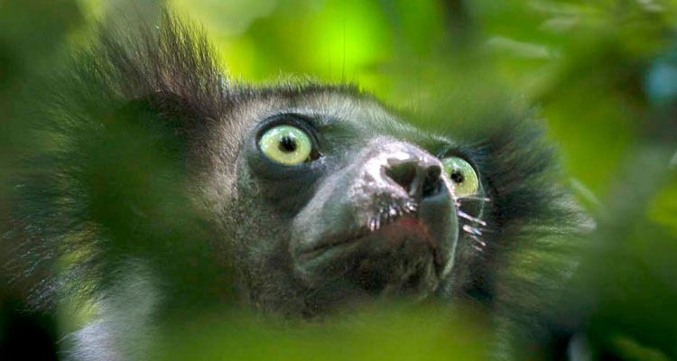 Indri indri face Madagascar Nick Garbutt Planet Earth 2 BBC documentary