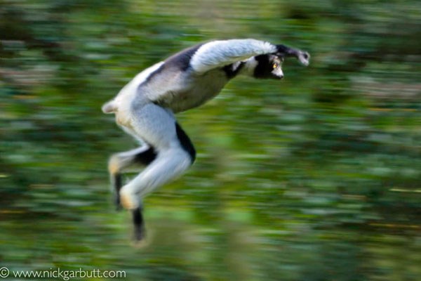 indri-leaping-madagascar-nickgarbutt