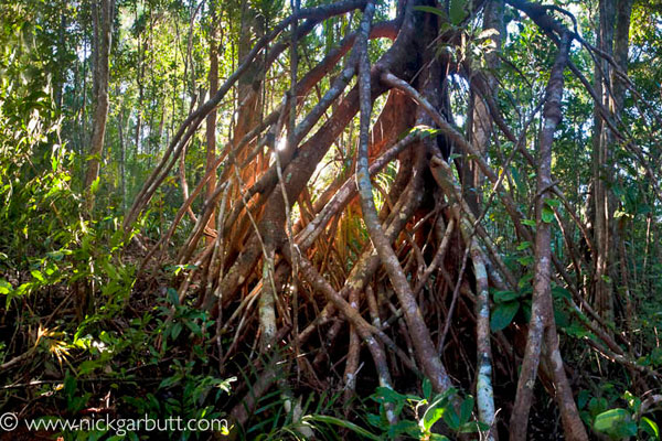 mangrove-forest-madagascar-nickgarbutt