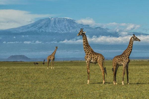 olDonyoLodge-Wildlife-GreatPlainsConservation-3-giraffe-kilimanjaro