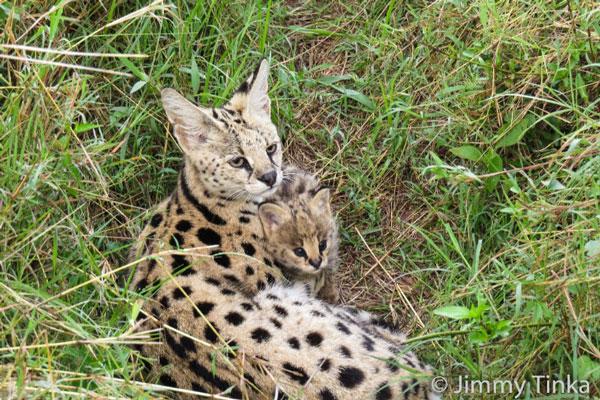 serval_cub_kicheche_mara_kenya