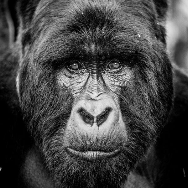 Best-for-gorillas-volcanoes