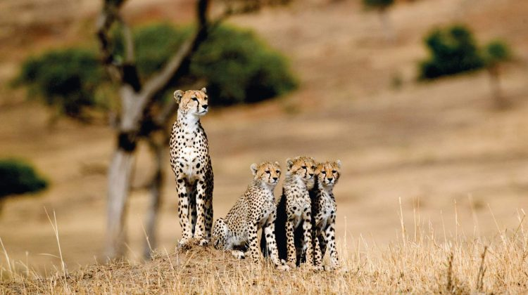 cheetahs and cubs