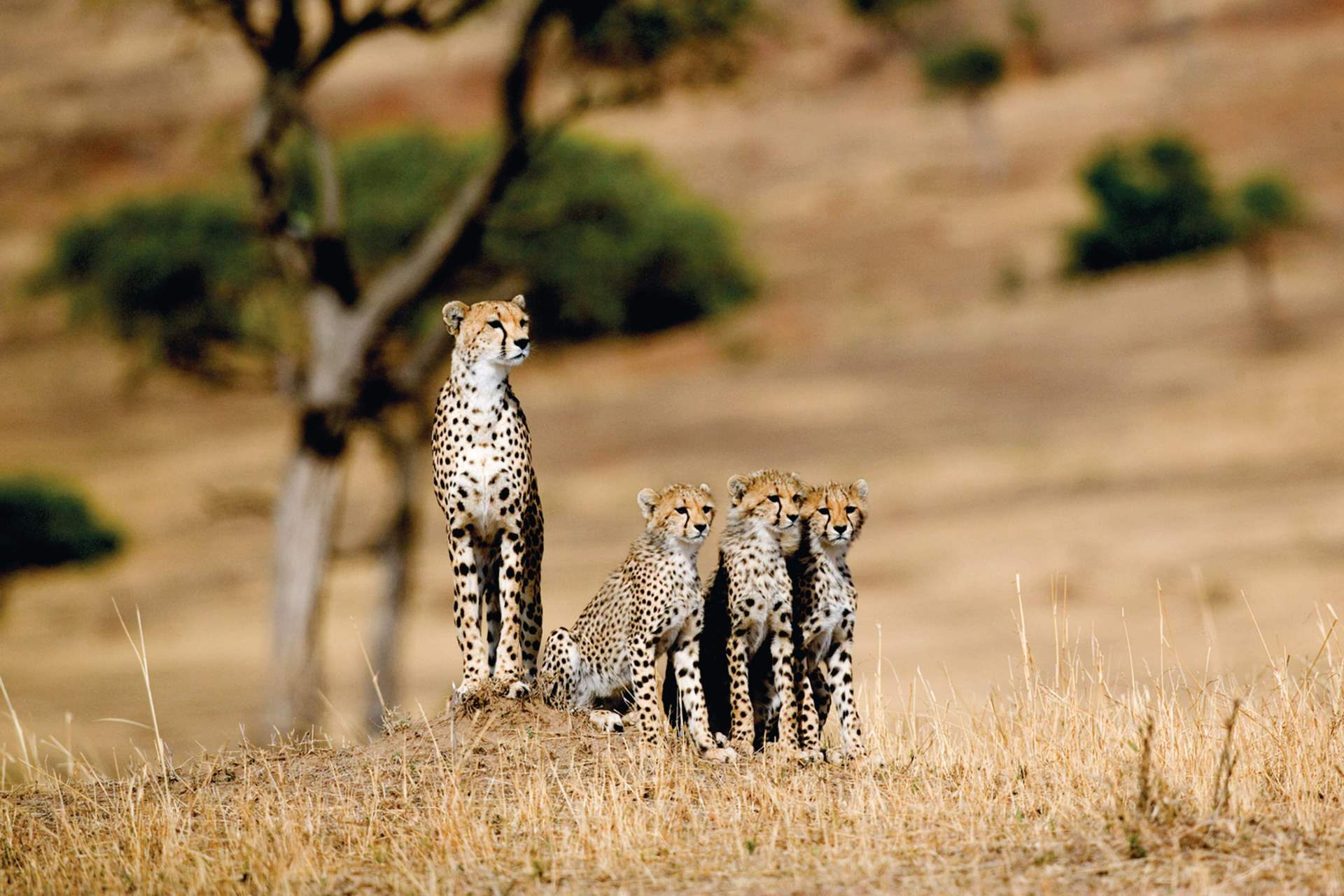 cheetah family of cubs in Kenya © BBC The Hunt wildlife documentary, Masai Mara, Kenya