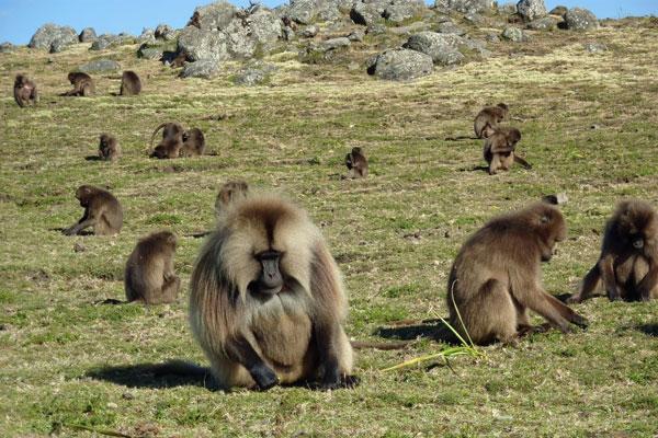 Baboons-Ethiopia-600