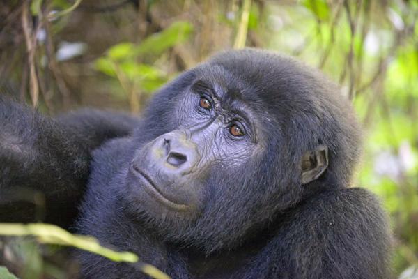 gorilla-in-bwindi-600-400