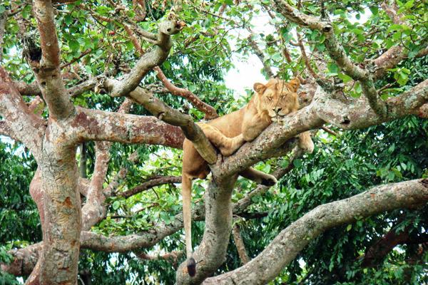 ishasha-lion-sleeping-in-tree-uganda-600-400