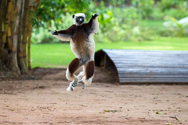 Madagascar-Anjajavy-Primate-(7)-Louise-Jasper-Coquerels-Sifaka-600-400