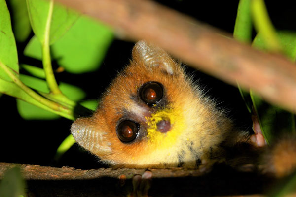 Madagascar-Bush-House-grey-mouse-lemur-(2)-600-400